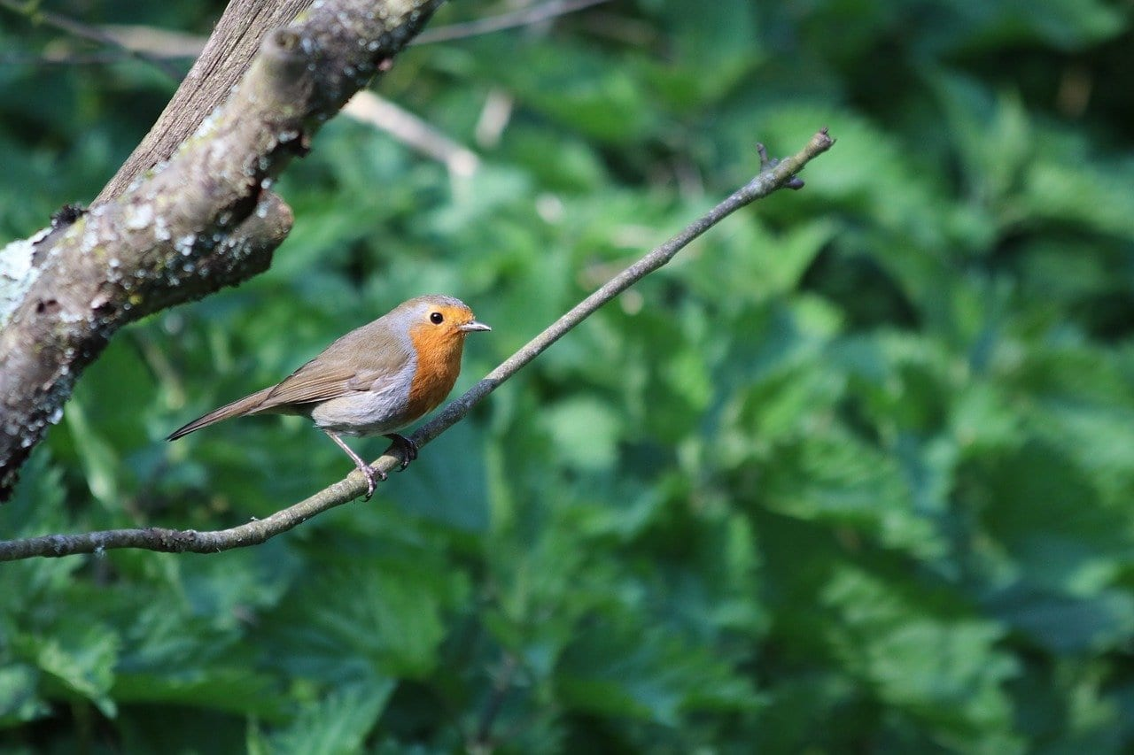 robin in forest